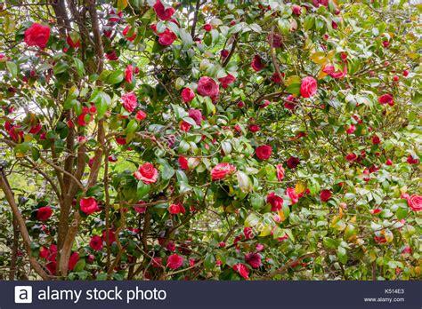 camelia blume kaufen blume camellia japonica in suchumi abchasien stockfoto