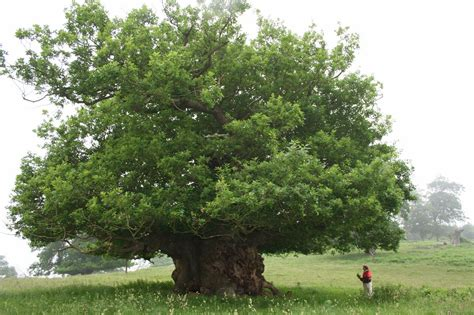 of tree national tree of wales sessile oak tree 123countries com