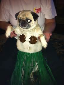 Aloha Pugs in Costumes