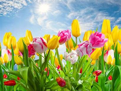 Tulips Nature Spring Desktop Wallpapers Colorful Flowers