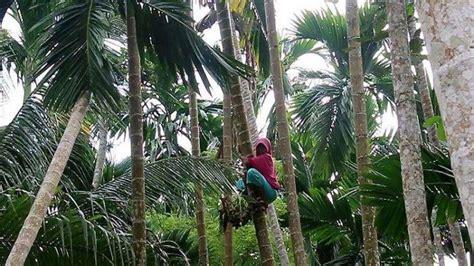 kisah siti warga bireun aceh  rela panjat  pohon