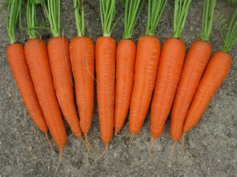 Big And Red Carrot Products,china Big And Red Carrot Supplier
