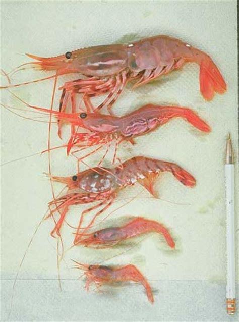afscrace pandalid shrimp species pandalidae