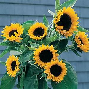 Sunrich Orange Summer