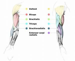 Liam Roberts Bagd Yr2  Arm Anatomy Reference