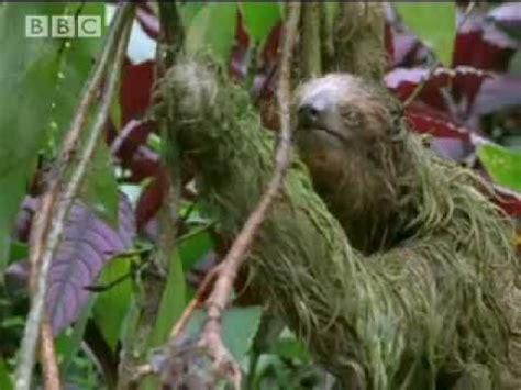 mouldy sloth amazing animals amazon assassin bbc