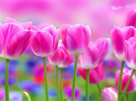 beautiful pink tulips flowers blur background