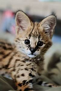 Baby serval. Those ears :) | Big Cats | Pinterest