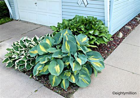 diy landscaping tips ideas hosta plants