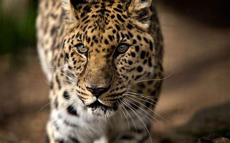 leopardos fondos de pantalla en  fotosdelanaturalezaes