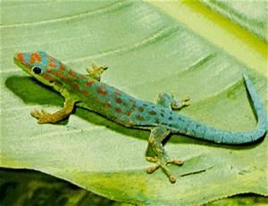 Saving geckos and plants on Mauritius