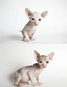 sphynx kitten...I seriously want one. If we didnt have the ...