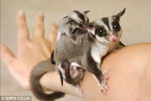 sugar glider facts hello possums the new pet that s simply flying off the shelves daily mail online