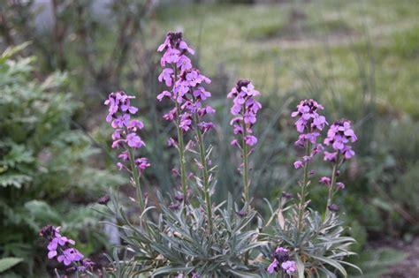 mauerbluemchen ohne mauer bergblumengarten