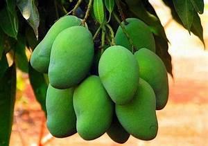 Green Mango   Nirapad News
