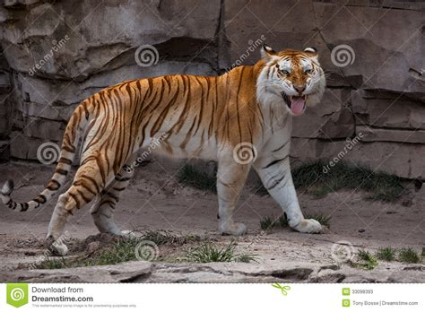 Golden Tabby Tiger Stock Image Animal