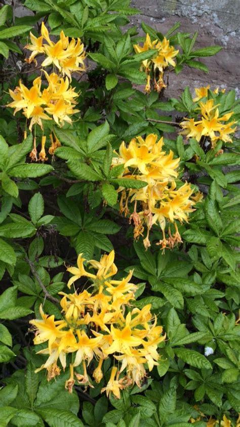 wie hei 223 t dieser busch mit duftenden gelben bl 252 ten gt rhododendron luteum baumkunde forum