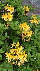 Busch Mit Gelben Blüten : wie hei t dieser busch mit duftenden gelben bl ten rhododendron luteum baumkunde forum ~ Frokenaadalensverden.com Haus und Dekorationen