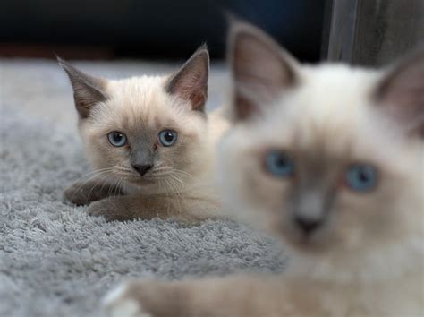 siamese cat much cost cats does
