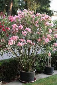 Oleander Draussen überwintern : oleander berwintern mein sch ner garten ~ Eleganceandgraceweddings.com Haus und Dekorationen