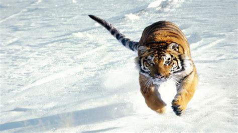Fierce Animal Wallpapers - desktop hd pictures of tiger 3d hd wallpaper tiger