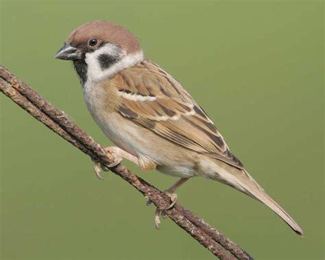 eurasian tree sparrow audubon field guide