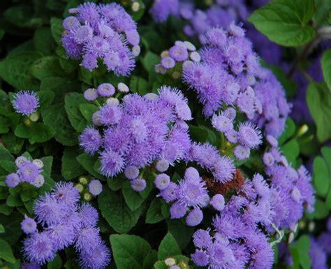 menanam bunga ageratum bibitbungacom