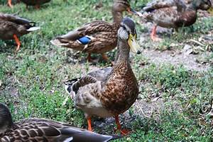 Project: Identifying Mallard Ducks