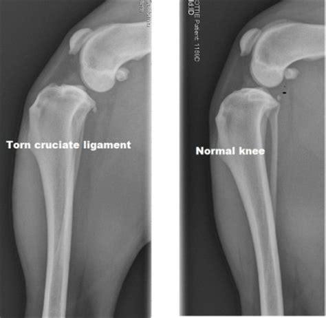 canine cruciate ligament injury bigcbit com agen resmi