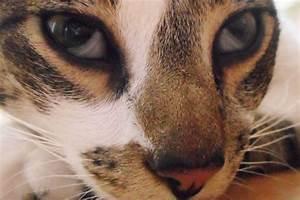 Аденома третьего века у кошек лечение