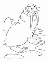 Coloring Pages Walrus Comments sketch template