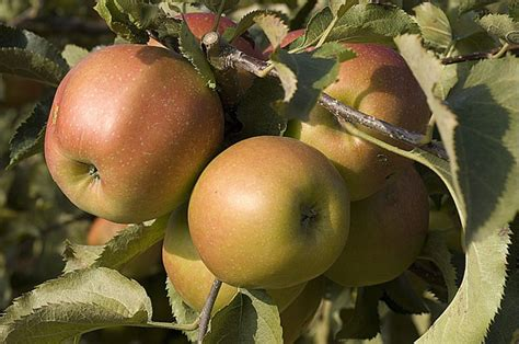 comment cuisiner des quenelles nature comment cuisiner des pommes à la grivette recette