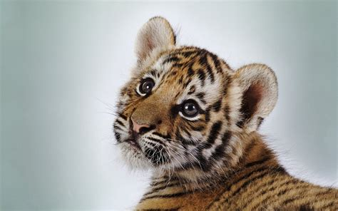 Animal Wallpaper Size - baby animal pictures wallpapers 40 wallpapers
