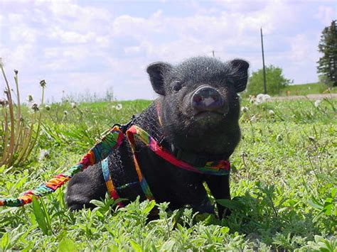 baby pot belly pigs pigs veganista goes farming