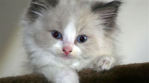 20 Beautiful Ragdoll Images To Melt