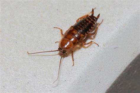 blatte de cuisine ectobius sp ma 1ère photo de blatte le monde des insectes