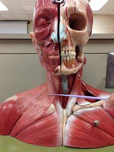 Lab 6  Axial Related Muscles  Trunk  Neck  U0026 Head