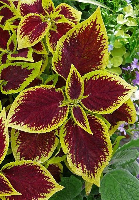 plants coleus coleus plants for winter colour grow as potted indoor plants just pinch out the growing tips