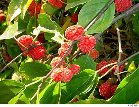 Che / Che, Or Chinese Melonberry, Grows Best With Lots Of Heat / Bay Area Carpet Binding Calgary Cleaning Hinsdale Il Green Rupturewort Modernistic Reviews Carbondale Direct Kc How To Kill Fleas Ammonia For