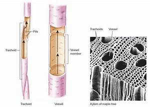 The Significance Of Vascular Tissue