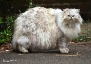 fluffy cat breeds fluffy cats breeds cats types