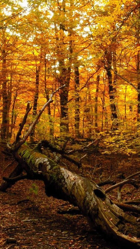 Autumn Fall Gold Wallpaper Iphone by Wallpaper Wiki Fall Iphone Backgrounds 2 Pic
