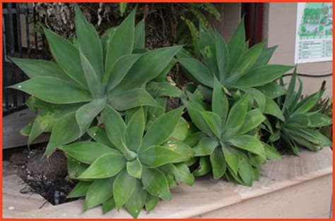 drought tolerant plants australia drought tolerant plant drought tolerant plants part 2