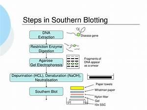 Ppt - Southern Blotting Powerpoint Presentation
