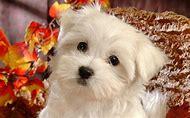 Cute Small Fluffy Puppy Dog
