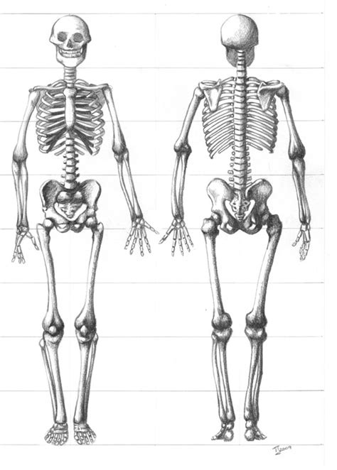 skeleton sketch  tiffanytiger  deviantart