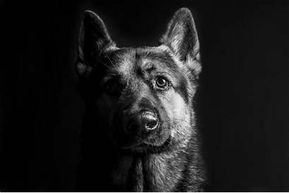 Shepherd German Christmas Wallpapers Desktop Dog Puppy