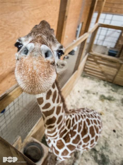 pequenitos tiernos pinterest cute giraffe