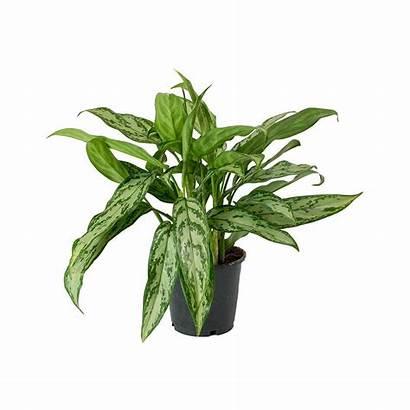 Aglaonema Evergreen Chinese Plant Indoor Queen Maria