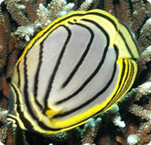 Meyer's Butterflyfish, Scrawled Butterflyfish - Chaetodon ...